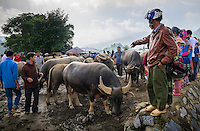 BAC HA, VIETNAM - CIRCA SEPTEMBER 2014:  Buffalo trading at the  Bac Ha sunday market, the biggest minority people market in Northern Vietnam