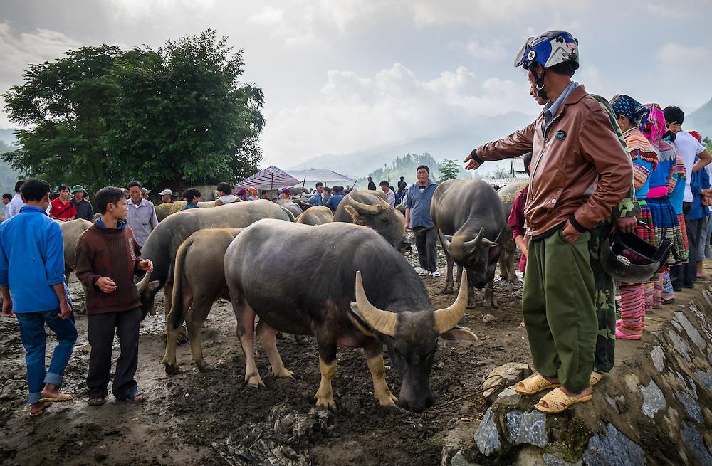 BAC HA, VIETNAM - CIRCA SEPTEMBER 2014:  Buffalo trading at the  Bac Ha sunday market, the biggest minority people market in Northern Vietnam