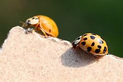 THEMENBILD - Die Marienkäfer (Coccinellidae) sind eine weltweit verbreitete Familie halbkugeliger, flugfähiger Käfer, deren Deckflügel meist eine unterschiedliche Anzahl von auffälligen Punkten aufweisen. Viele Arten ernähren sich von Blatt- und Schildläusen. Sie sind in ihrem Aussehen variabel, was ihre Bestimmung erschwert. Dieselbe Art kann in dutzenden Mustervarianten auftreten. Aufgenommen am 10. August 2013 // THEME IMAGE - The Ladybug (Coccinellidae) are a cosmopolitan family hemispherical, airworthy beetles, whose elytra usually have a different number of eye-catching points. Many species feed on leaf and scale insects. They are variable in their appearance, what their determination difficult. The same kind of pattern can occur in dozens of variants. Pictured on 2013/08/10. EXPA Pictures © 2013, PhotoCredit: EXPA/ Pixsell/ Patrik Macek<br /> <br /> ***** ATTENTION - for AUT, SLO, SUI, ITA, FRA only *****