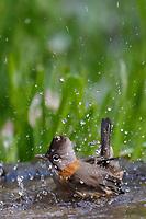 Whiskered Yuhina, Yuhina flavicollis, bathing in water in Baihualing, Gaoligongshan, Yunnan, China