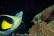 threespot damselfish, Stegastes planifrons =  Pomacanthus <br /> planifrons, drives angelfish away from territory on <br /> touch-me-not sponge, Neofibularia nolitangere<br /> ( angelfish is attempting to feed on sponge, toxic to most <br /> other organisms ), Grand Cayman Island, Cayman Islands<br /> ( Caribbean Sea )