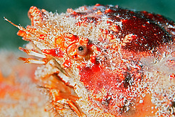 channel clinging crab, Mithrax spinosissimus, eye, #1 Marker Reef, Key West, Florida, Atlantic