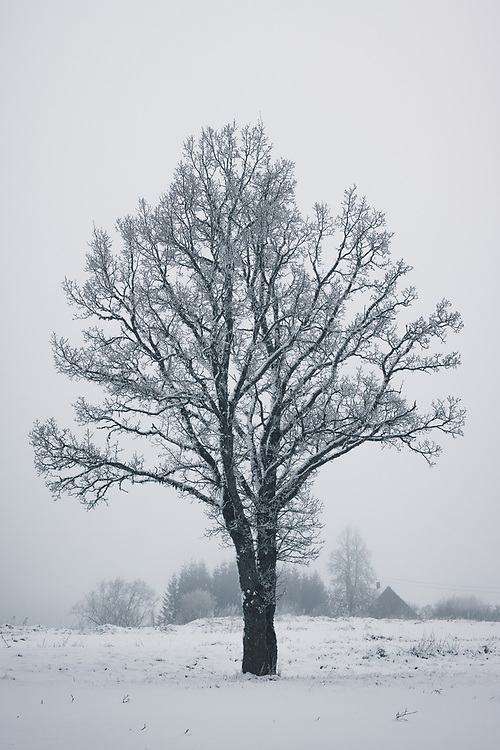 Lone frost covered oak tree (Quercus robur) on foggy gray day with single house in background, Vidzeme, Latvia Ⓒ Davis Ulands | davisulands.com