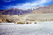 A group of Donkeys transporting hay on the dry Kali Gandaki Riverbed in Nepal.