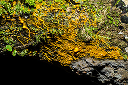 Yellow Slime Mould, Unknown sp