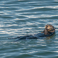 A southern sea otter (Enhydra lutris nereis) eats shellfish as it floats on its back in Monterey Bay, California.