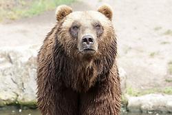 THEMENBILD - die Kamtschatkabaeren Leonid und Mascha im Tierpark Hagenbeck, Hamburg aufgenommen am 24.07.2013 // THEME PICTURE - the Kamtschatkabaeren Leonid and Masha in the Hagenbeck Zoo, Hamburg added on 24/07/2013. EXPA Pictures © 2013, PhotoCredit: EXPA/ Eibner/ Andre Latendorf<br /> <br /> ***** ATTENTION - OUT OF GER *****