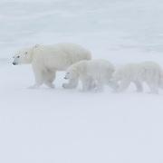 Polar Bear (Ursus maritimus) mother with her two cubs along Hudson Bay near Churchill, Manitoba. Canada.