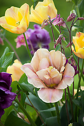 Detail of arrangement with Tulipa 'Apricot Foxx' and 'La Belle Epoque' with Solomon seal and aquilegia