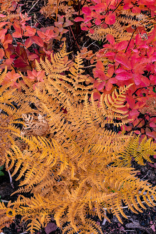 Autumn ferns and ground cover in burn area above St Mary Lake in Glacier National Park, Montana, USA