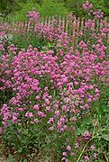 Purple phlox flowers growing in a field in front of a snow fence.  South Dakota USA
