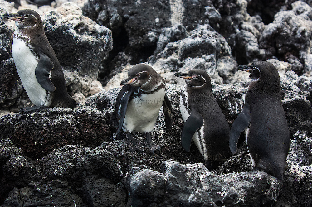 Galapagos penguins (Spheniscus mendiculus)<br /> Fernandina Island, Galapagos Islands<br /> ECUADOR.  South America<br /> This is the only penguin to nest entirely within the tropics and in the case of those living on the northern tip of Isabela Island, the only penguins found in the northern hemisphere. They are the third smallest penguin in the world. They live in lava tubes and natural caves and crevices. The females lay one or two eggs and can breed more than once a year if conditions are optimal.<br /> ENDEMIC TO GALAPAGOS ISLANDS