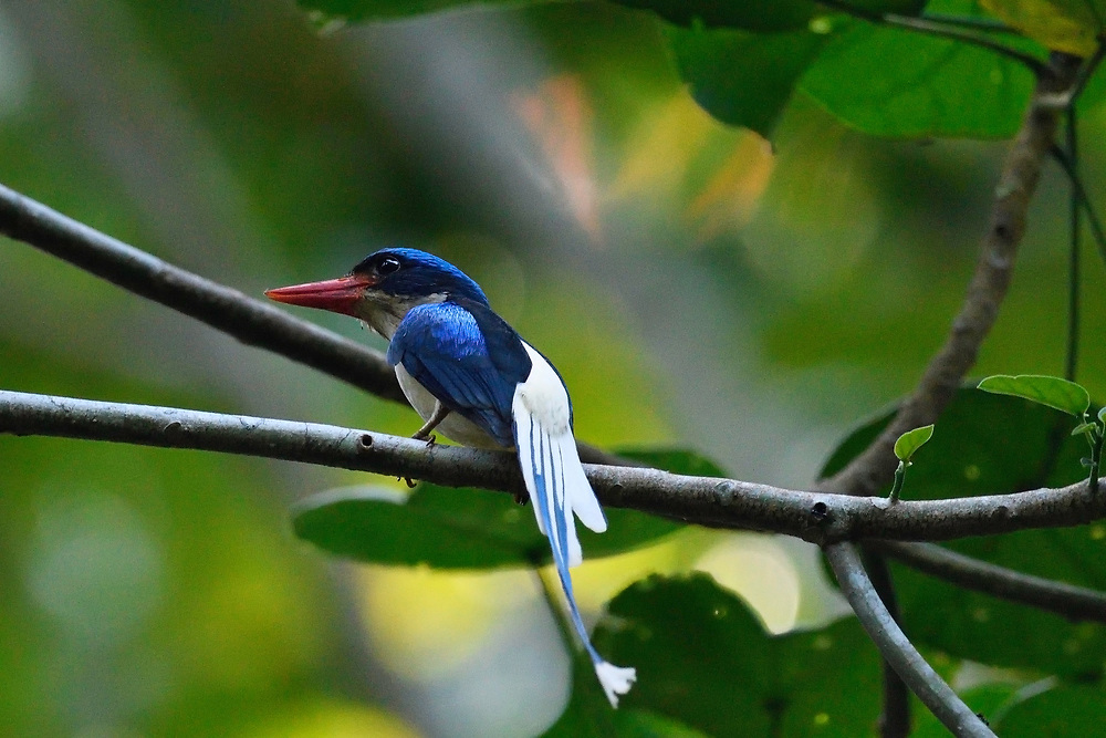 """Common paradise kingfisher (Tanysiptera galatea), Waigeo, Raja Ampat, Western Papua, Indonesian controlled New Guinea, on the Science et Images """"Expedition Papua, in the footsteps of Wallace"""", by Iris Foundation"""