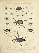 Cucujus (beetles in the family Cucujidae), Culex (genus of mosquitoes), Curculio (weevils), Cyclidium and Cynips (gall wasps) Copperplate engraving From the Encyclopaedia Londinensis or, Universal dictionary of arts, sciences, and literature; Volume V;  Edited by Wilkes, John. Published in London in 1810