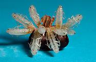 Deu, Deutschland: Neugeborene Gemeine Küchenschaben (Blatta orientalis), Nymphen genannt, verlassen ihre Eikapsel (ootheca) | Deu, Germany: Newborn Oriental cockroaches (Blatta orientalis), known as  nymphs, emerging their egg capsule (ootheca) |
