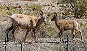 Desert bighorn sheep (Ovis canadensis nelsoni) with lamb, beside Emigrant Canyon Road, Death Valley National Park, California, USA. Desert bighorn sheep are native to the deserts of the Southwestern United States and Northwestern Mexico.