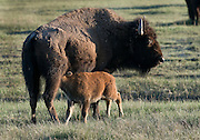 A bison cow feeds her calf in late spring in Yellowstone National Park, Wyoming.