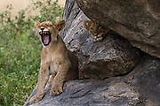 Two lion cubs, Panthera leo, on a kopje, one yawning and the other looking at the camera.