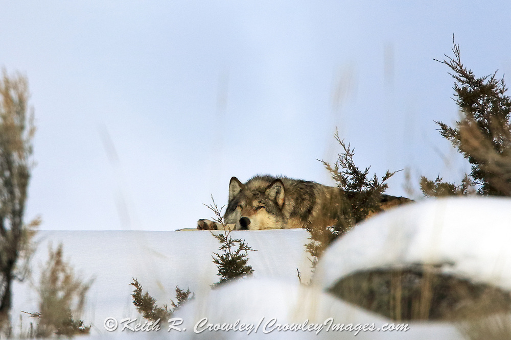 Sleeping Gray Wolf in winter habitat