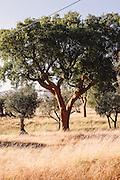 Cork trees near Villa Extramuros, Horta do Chaveiro, Arraoilos > villaextramuros.com