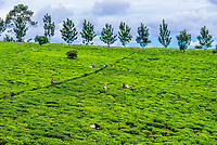 Workers picking green tea on a tea estate in the Kyenjojo District, Western Uganda.