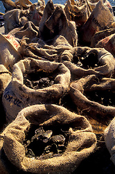 Stock photo of burlap sacks of fresh oysters from the bay