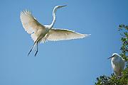 Great Egrets in breeding plumage