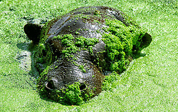 © Licensed to simonjacobs.com. 16/07/2013 Whipsnade, UK. Ten month old Pygmy hippo calf Georgina hides in the algae as she takes her very first swim in a pool at Whipsnade Zoo, Bedfordshire.<br /> Photo credit : Simon Jacobs