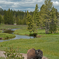 An American Bison (Bison bison) naps beside a stream in Yellowstone National Park, Wyoming.