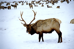 WY: Grand Teton National Park,Wyoming; Elk at Jackson Hole National Elk Refuge in winter    .Photo Copyright: Lee Foster, lee@fostertravel.com, www.fostertravel.com, (510) 549-2202.Image: wygran204
