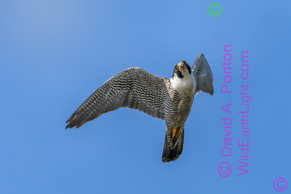 Peregrine falcon pitches up and starts a turn after missing a strike at prey. © David A. Ponton