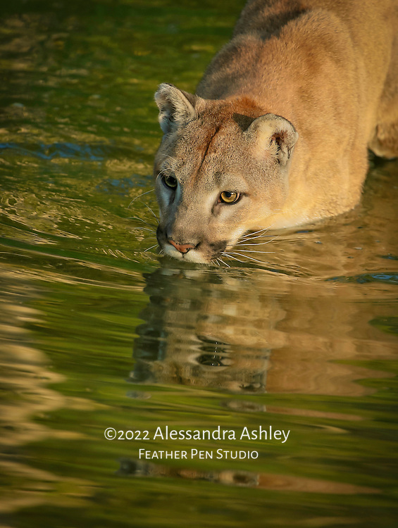 Mountain lion wading and reflected in pond within naturalistic habitat.