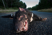 Roadkill is an easy food source for the Tasmanian devil, unfortunately the risks are high on dark country roads and motorist cannot avoid wildlife majority of the time.