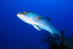 greater amberjack, Seriola dumerili, Shark Junction, Freeport, Grand Bahama, Bahamas, Caribbean Sea, Atlantic Ocean
