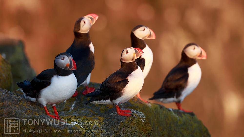 Five Atlantic puffins (Fratercula arctica) perched on a cliff edge in Iceland, bathed by warm light of Arctic summer sunset.