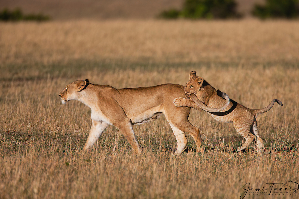 A male lion cub (Panthera Leo) playing with its mother while biting her tail as she walks ,Masai Mara, Kenya,Africa
