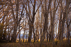 cottonwood trees in New Mexico at sunset