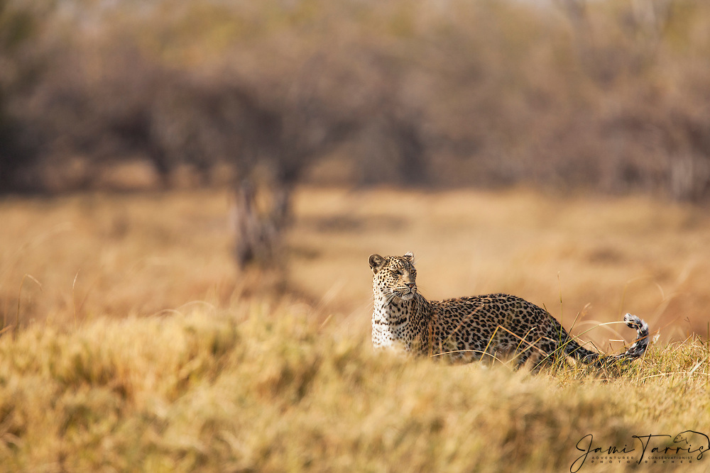 A leopard (Panthera pardus) standing in tall grass is alert and looking behind her ,Moremi Game Reserve,Botswana,Africa