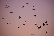 A flock of American crows (Corvus brachyrhynchos), known as a murder, fly across the twilight sky on their way to roosting grounds in Bothell, Washington. An estimated 10,000 crows roost in a small area of the city each night.
