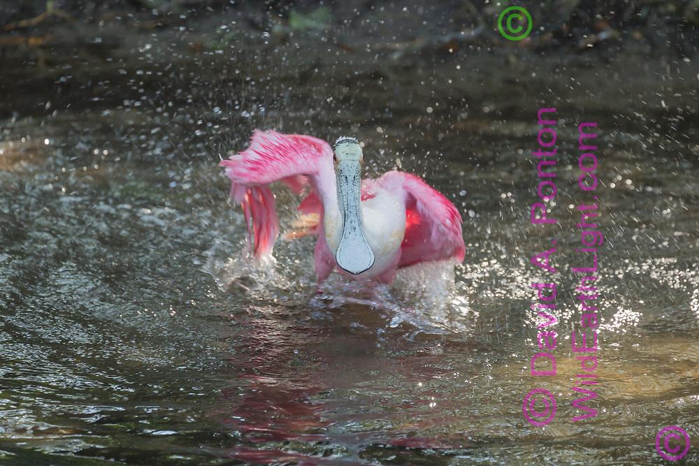 Roseate spoonbill bathing in wetland pool, Florida, © David A. Ponton