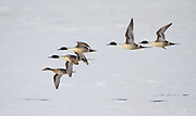 Pintails at Freezeout Lake during spring migration, Montana.