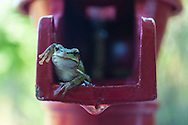 A Pacific Chorus Frog in the well pump on Ben Nevis Farm, Shaw Island, Washington