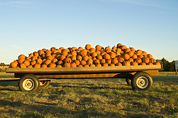 beautiful pumpkins on a flatbed truck in The Hamptons