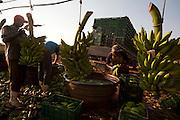 Jaiba_MG, Brasil...Colheita de bananas em Jaiba, Minas Gerais...Banana harvest in Jaiba, Minas Gerais...Foto: LEO DRUMOND / NITRO