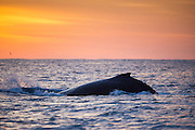 Humpback Whale at sunrise (Megaptera novaeangliae)<br /> Sardine run,<br /> Eastern Cape<br /> SOUTH AFRICA