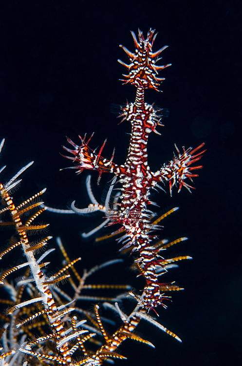 Ornate Ghost Pipefish (Solenostomus paradoxus)<br /> Cenderawasih Bay<br /> West Papua<br /> Indonesia