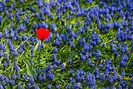 Single Red Tulip in Muscari