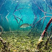 A grey snapper fish (Lutjanus griseus) hunting silversides (Atherinomorus lacunosus) among red mangrove (Rhizophora mangle) roots, Eleuthera, Bahamas.
