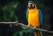 The Blue-and-Yellow Macaw (Ara ararauna), also known as the Blue-and-Gold Macaw, is a large blue (top parts) and yellow (under parts) South American parrot, a member of the large group of Neotropical parrots known as macaws. It inhabits forest (especially varzea, but also in open sections of terra firme (non-flooded forest)) and woodland of tropical South America. © Michael Durham / www.DurmPhoto.com