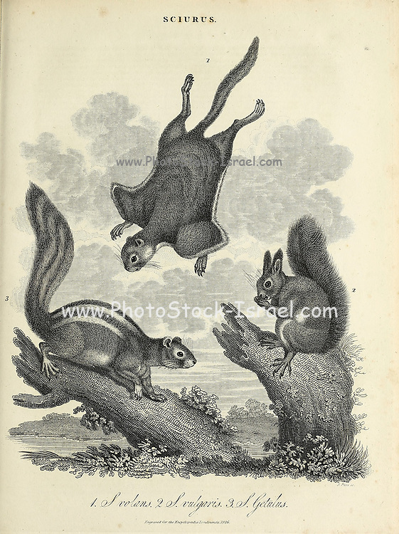 Sciurus [Bushy tailed squirrels] Copperplate engraving From the Encyclopaedia Londinensis or, Universal dictionary of arts, sciences, and literature; Volume XXII;  Edited by Wilkes, John. Published in London in 1827